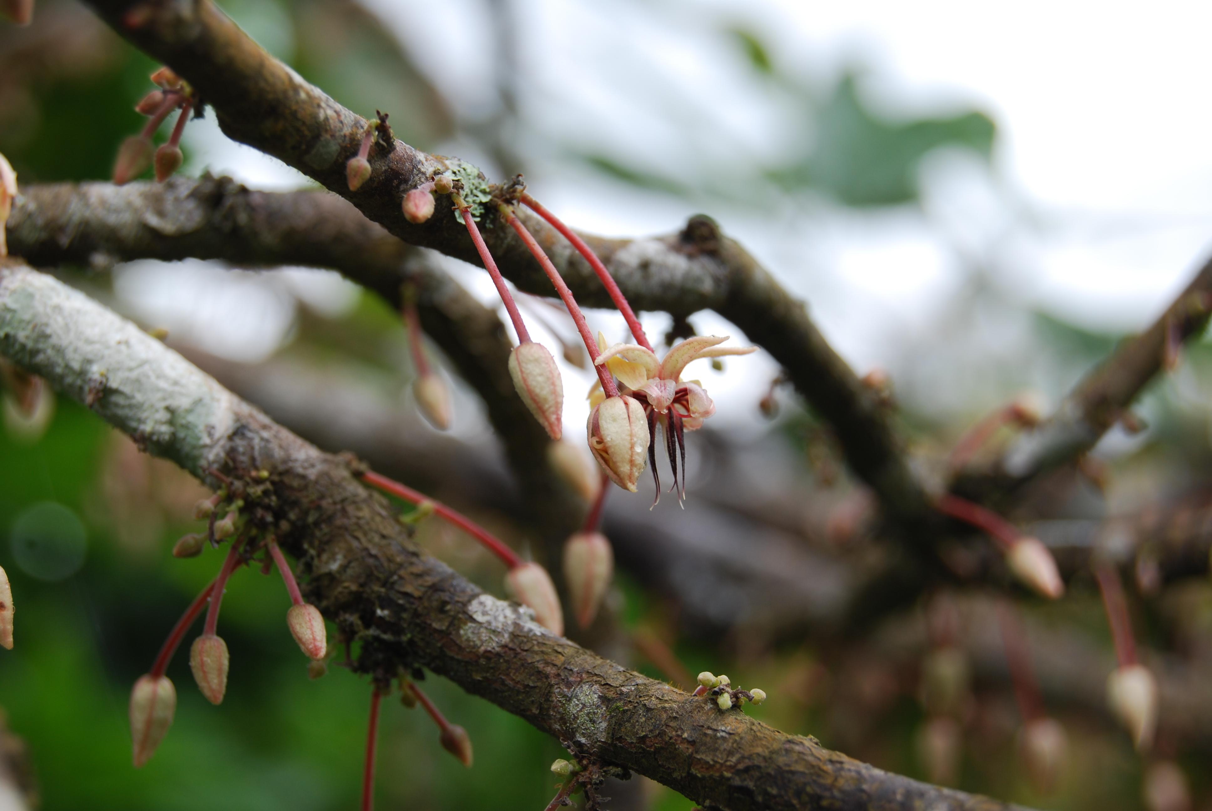 I Fiori Della Pianta Di Cacao Orchidee In Miniatura Che Muoiono Al