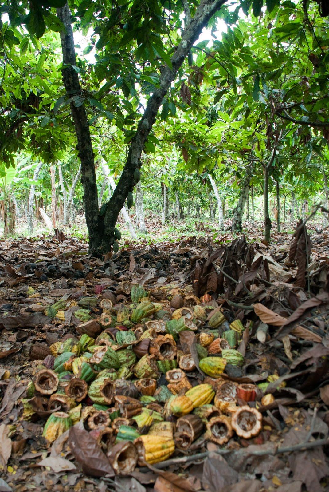 Dalla Pianta Di Cacao Alla Tavoletta Di Cioccolato
